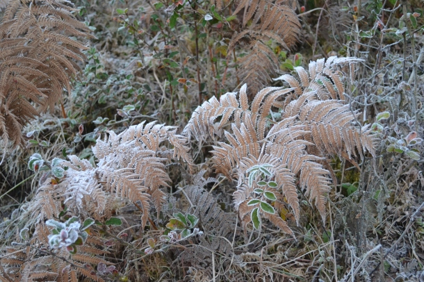 Thin layer of snow crystals spread across the bushes - Pithoragarh, Uttarakhand