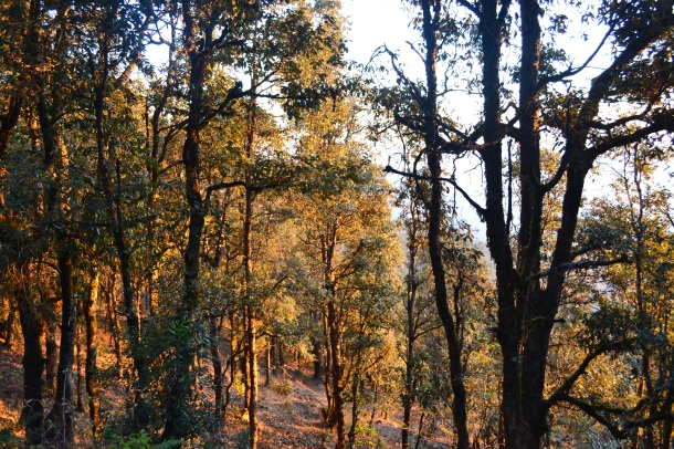 Tall trees, longing for the warmth of the sun - Pithoragarh, Uttarakhand