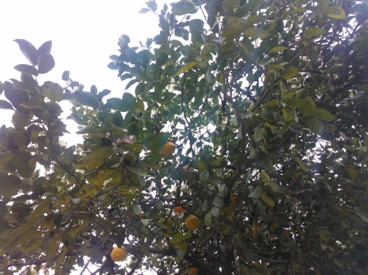 A lemon tree - so common a sight in every home in Uttarakhand