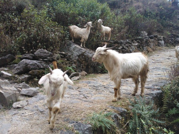 Mountain Goats at Birthi Waterfall on the way to Munsyari, Pithoragarh, Uttarakhand