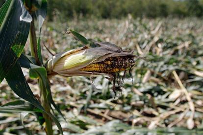 Corn damaged by Hurricane Irene
