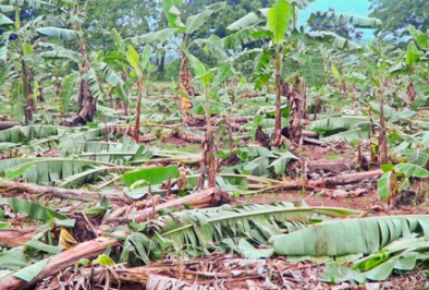 Damaged Crops due to violent storms