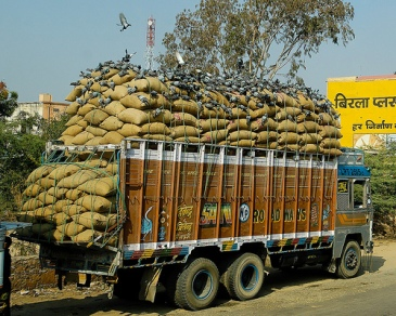 Birds feed on grain bags on truck