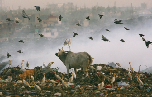 Animals looking for food in the garbage dumps