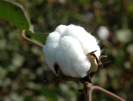 Cotton of Gujarat