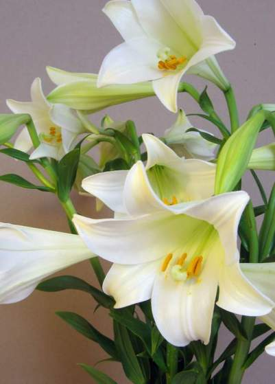 Lily Flower Export from Gujarat