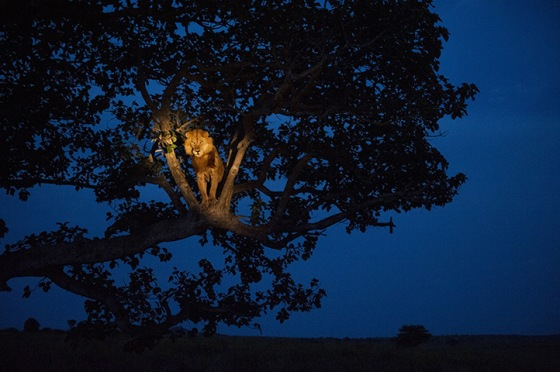 2007, Uganda: a lion climbs a tree to sleep in Queen Elizabeth park