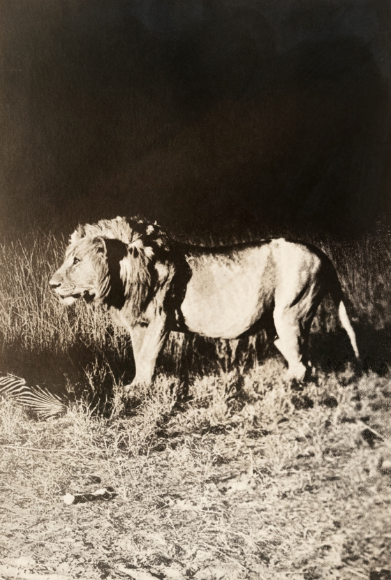May 1910 In Africa, : A close view of a male lion photographed with a flashlight at night