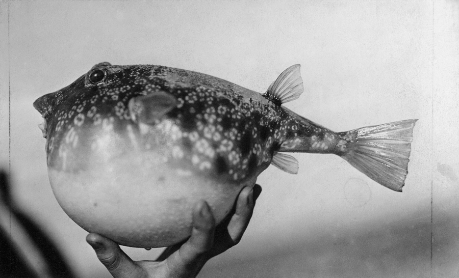 January 1922 a close view of the puffer fish found in for Puffer fish florida