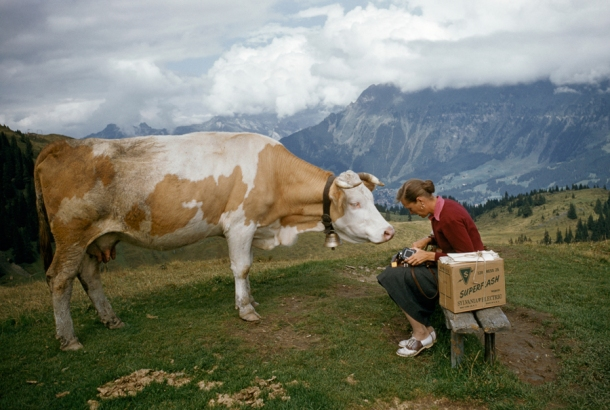 November 1956, Switzerland : A curious cow on a hilltop tries to nibble a woman's camera in Switzerland