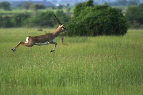 Black Buck at Rollapadu