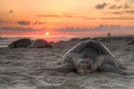 Olive Ridley Turtles, Ratnagiri