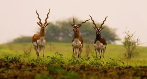 Blackbuck at Ranebennur