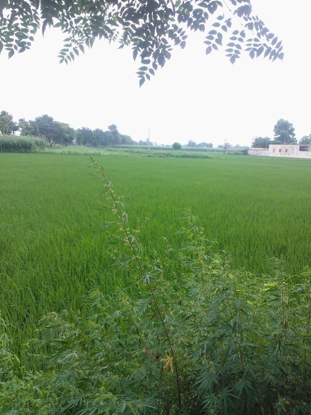 The Plant, beside the Rice fields