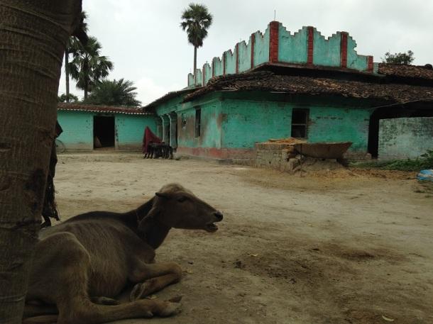 Rural Bihar - Lazy cow