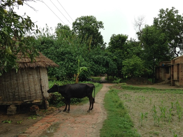 Rural Bihar - Lonely Cow
