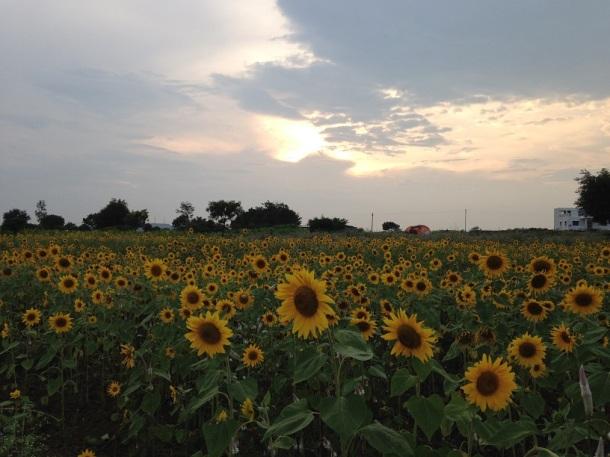 Rural Maharashtra - Sunflower fields